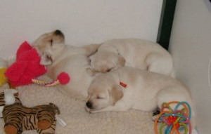 Sleeping pups, age 4 weeks.