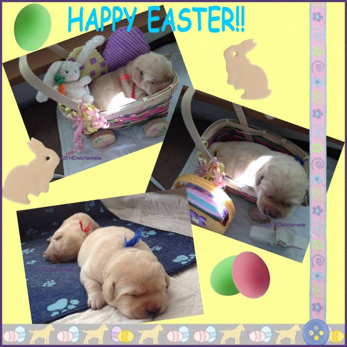 yellow puppies in easter baskets, copyright image