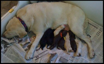 yellow lab with pups