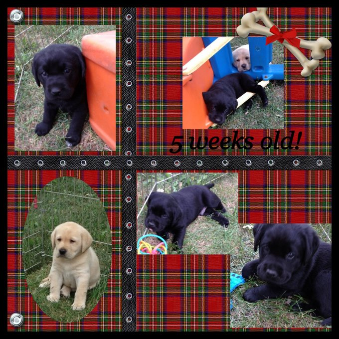 collage of 5 week old puppies